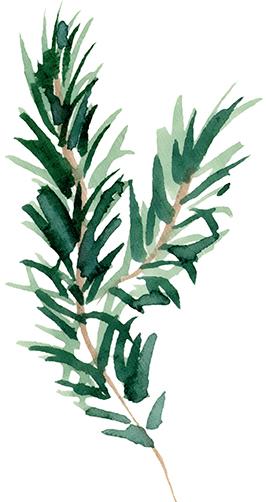Conifere013