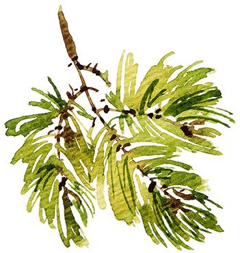Conifere06