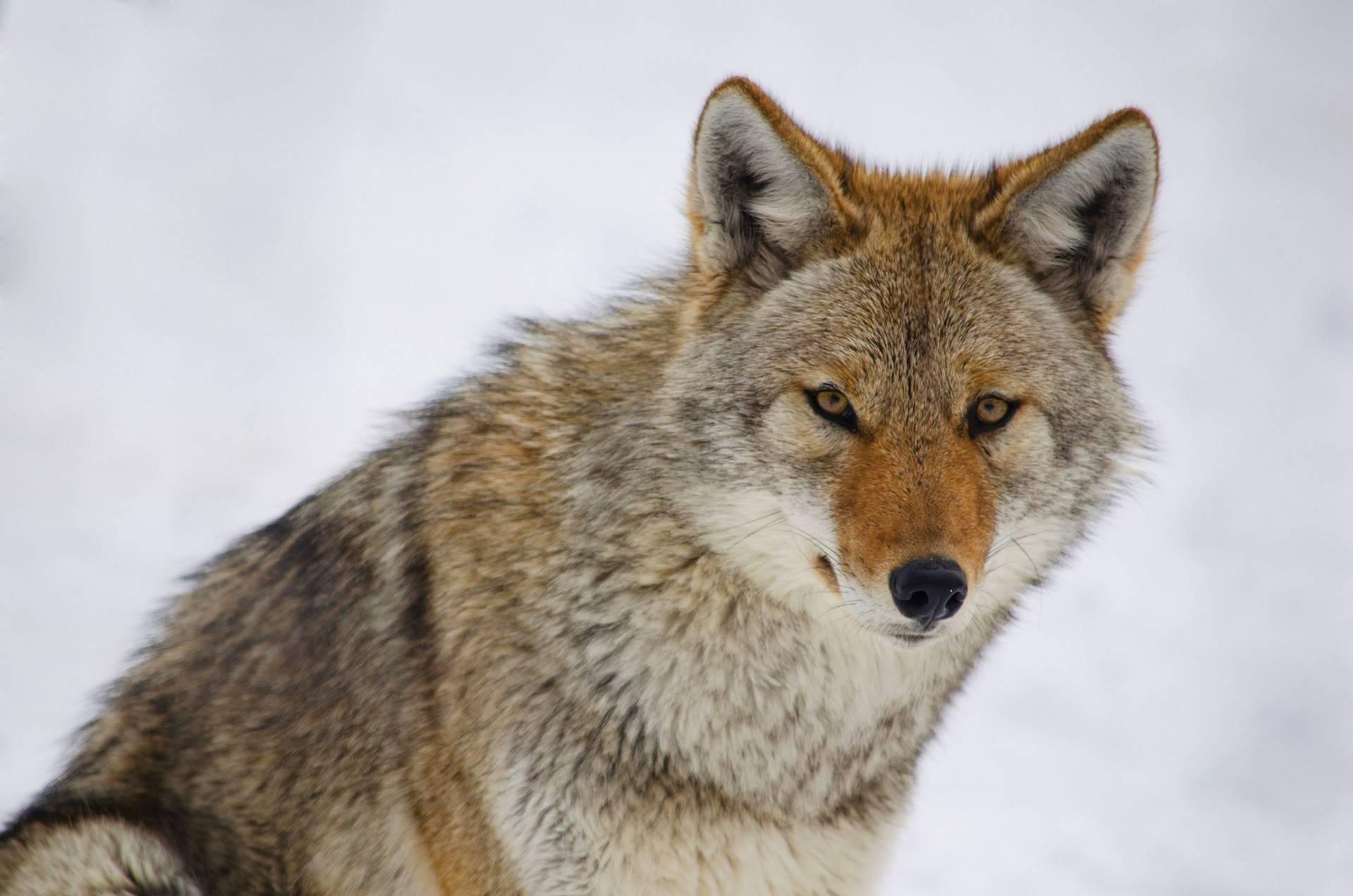 Coyote_V_Laval_Libre_de_droits1