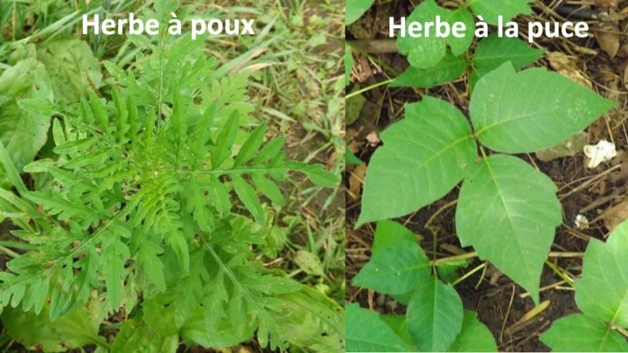 herbe-a-puce-vs-herbe-poux